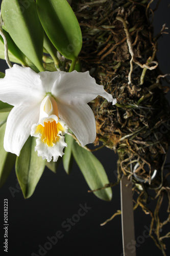 storczyk biały żółty na czarnym tle