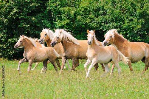 Plexiglas Paarden Haflinger horses, mares with foals running across a meadow