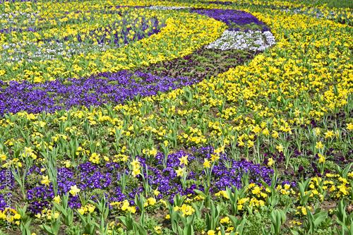 Żółci i purpurowi kwiaty w parkowym wiosna czasie