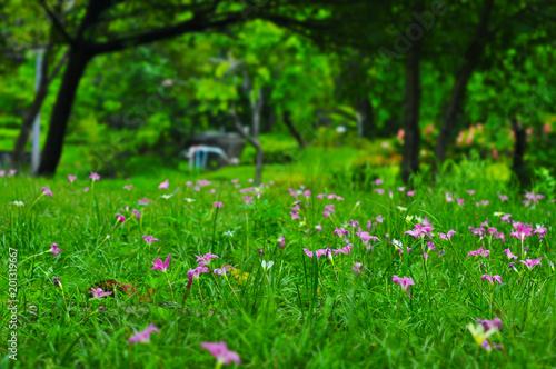 Pole różowoczerwona Zephyranthes leluja lub podeszczowa leluja kwitnie w ogródzie, Siam tulipanowi kwiaty, Selekcyjna ostrość