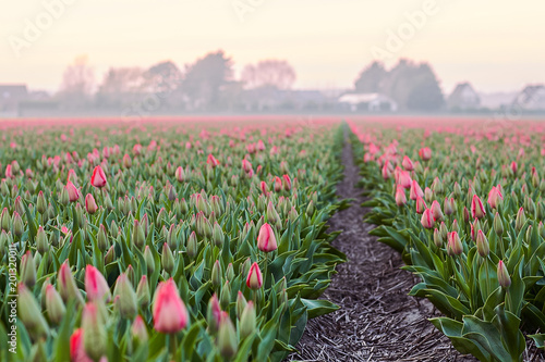 Aluminium Tulpen Beautiful blooming field of pink tulips at sunset in spring, Holland, Netherlands