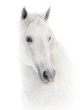 Snowy white horse on white - 201323008