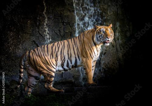 Azjatycki tygrysie męski pozycja odpoczynek w naturalnym środowisku zoo.