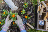 Blooming marigolds planted to the ground in the garden.