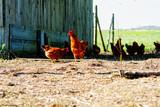 freilaufende hühner - 201334697