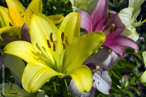 Żółta i różowa lilia ogrodowa