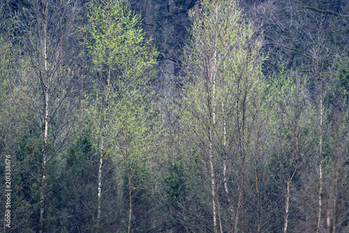 Row of birch trees with fresh leaves in springtime. - 201338676