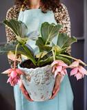 medinilla flower in the pot - 201346004