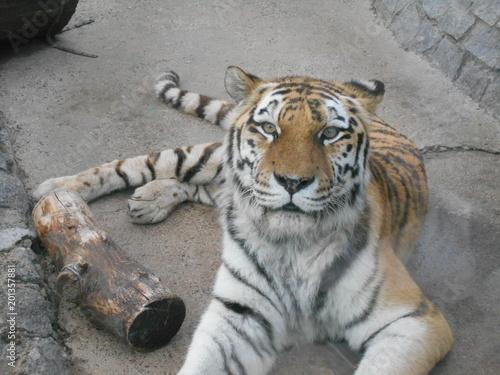 Śpiący tygrys