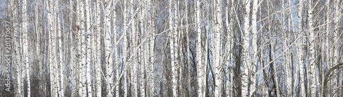 Beautiful white birches in birch grove - 201370677