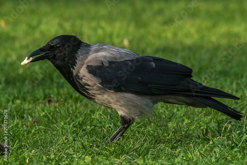 wrona spacerująca po trawie