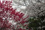 Sakura in Tokio - 201373629