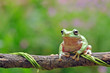 frog, cute, green