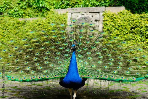 Plexiglas Pauw Beautiful peacock displaying itself on a beautiful sunny day. The peacock has the scientific name of Pavo cristatus. It is a native bird of the Indian subcontinent, being the national bird of India.