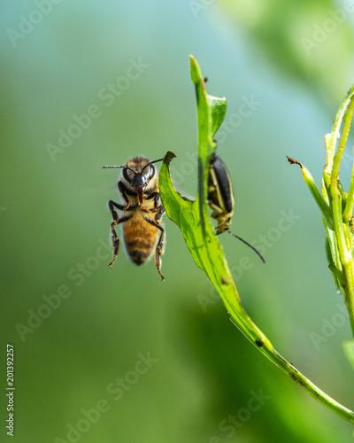 Foto Murales Honey bee looking for trouble!
