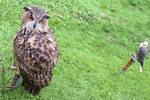 Beautiful big owl bird on a background of green grass and a falcon in the background.