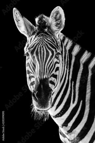 Zebra Closeup II - 201399095