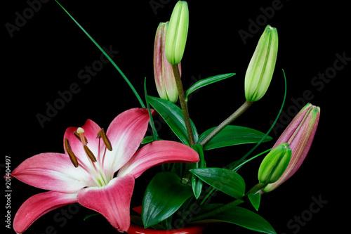 Piękne różowe lilie kwiaty i pąki, kwitnące