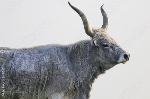 Portrait of a Hungarian Grey bull