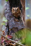 Madagascar screech owl in vertical composition  - 201414446