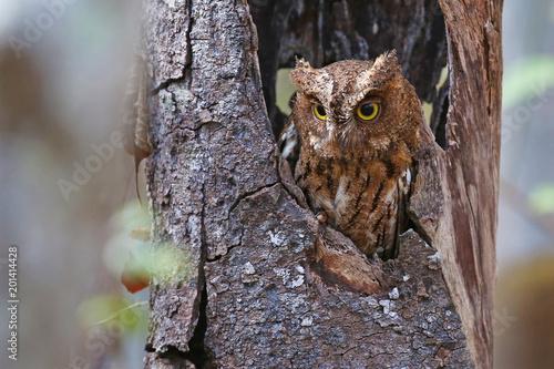 Madagascar screech owl in horizontal composition