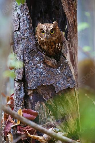 Madagascar screech owl in vertical composition