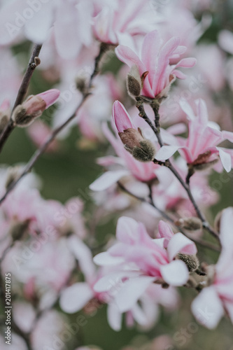 Wall mural Flowering pink magnolia tree in spring
