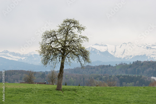 Foto Murales Single tree on a hill with snowy mountain Pilatus in background. Switzerland landscape.
