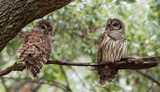 Barred Owl - 201436052