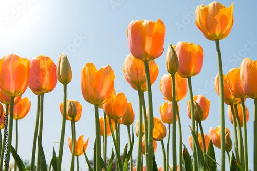 Fotobehang Tulpen Field of tulips - Campo di tulipani