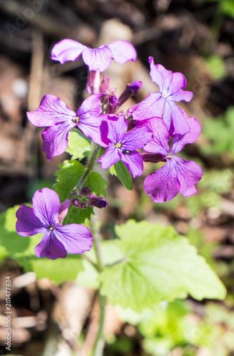 Lila Frühlingsblume,Wildblume