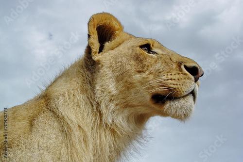 Junger Löwe im Portrait