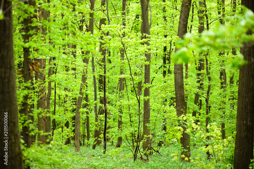 Foto op Plexiglas Lime groen Springtime in the lush green forest. Beech tree trunks and foliage.