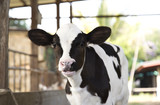 young black and white calf at dairy farm. Newborn baby cow - 201502282