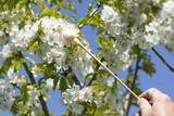 Handbestäubung - Tupfer - Kirschbaumblüte  - 201508842