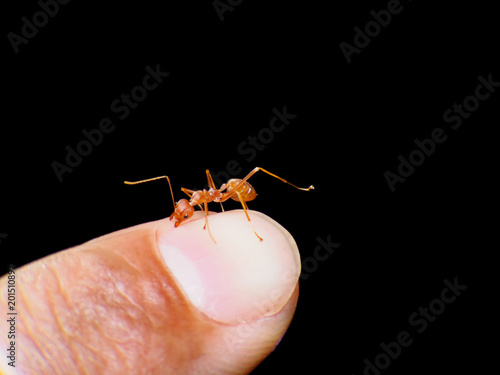Macro of ant (Red Ant or Green Tree Ant) biting on the human skin for self-defense or self-protection from human - 201510897