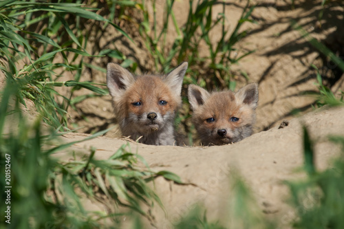 two young fox in a meadow Poster
