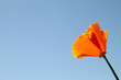 California Poppy Blossom against Blue Sky