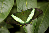 Banded Peacock Butterfly on a leaf