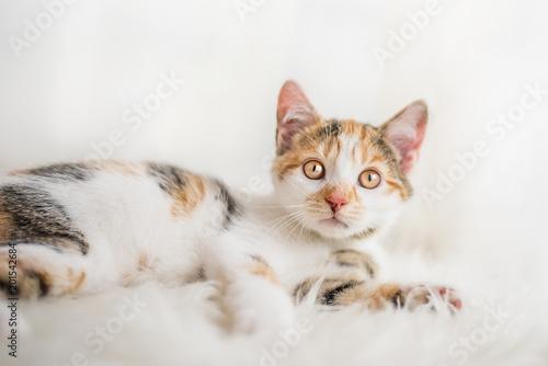 Fototapeta Kätzchen auf weißem Fell
