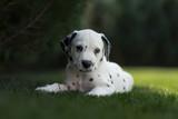 Dalmatiner Welpe im Garten
