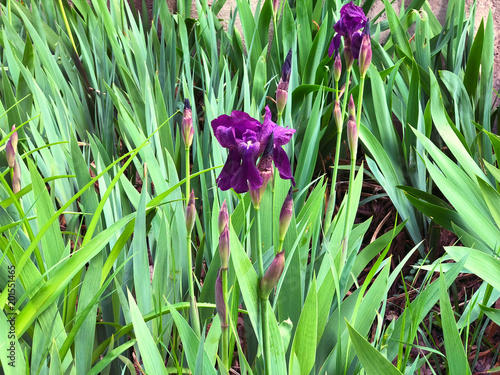 Beautiful flowers of iris. Beautiful irises on green background. Iris plant in garden bloom in spring. - 201551465