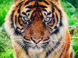 Close up of a tiger's face