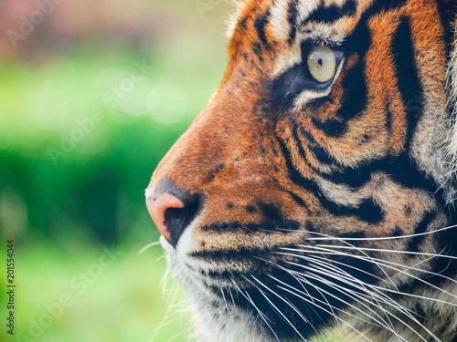 Zamknij się profil tygrysa