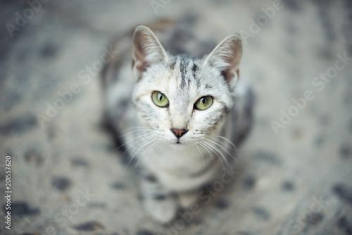 Portret szary kot siedzi na podłodze patrząc na kamery bezpośrednio z intensywnymi zielonymi oczami