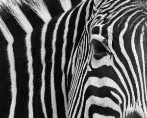 zebra, animal, black, skin, stripes, white, africa, pattern, texture