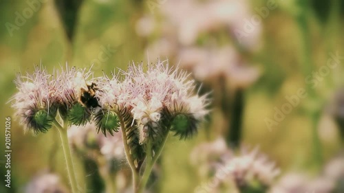 Natural scene with Purple lucerne and bumble bee