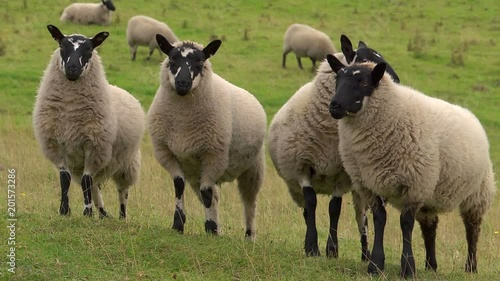 A group of sheep in a field, standing together. Chewing