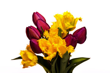 Beautiful tulips isolated on a white background