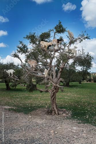 Capre su albero di Argan